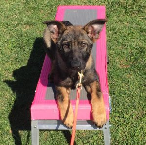 Puppy Training for Clarksville TN and surrounding areas